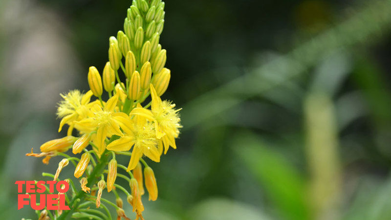 Bulbine natalensis side effects