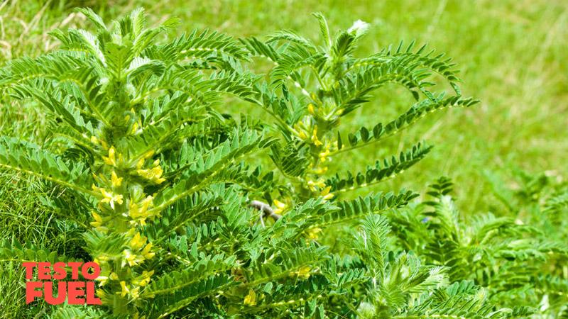 astragalus-plant