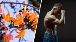 Does Butea Superba Increase Testosterone?